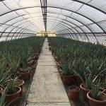 Foglia di Aloe Vera – Pianta italiana Biologica – Molise