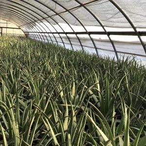 Benessence Aloe Coltivazione 1 300x300